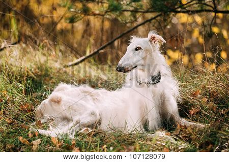Dog Russian Borzoi Wolfhound Sit, Outdoors, Autumn Season