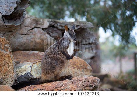 Swamp wallaby (Wallabia bicolor) also known as the black wallaby. Wildlife animal.