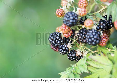 Dewberries on a shrub. Macro shot. On a branch macro