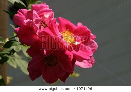 Rosa William Baffin - Climbing Rose