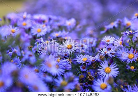 small purple asters wildflowers background deep of field poster