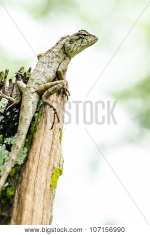 Calotes Emma Alticristatus Is Spcies Name Of Reptile