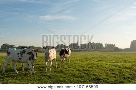 Young Cows Early In The Summer Morning