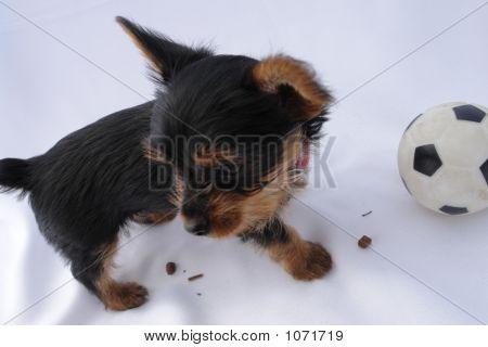 Yorkie Puppy...