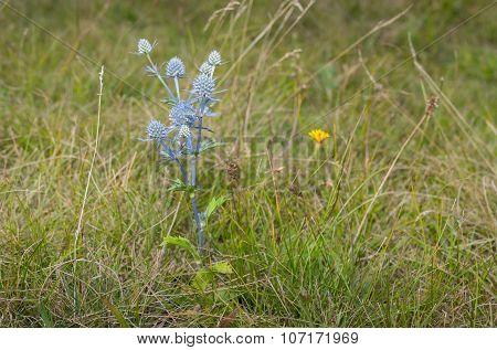 Lonely Eryngium flowering plant