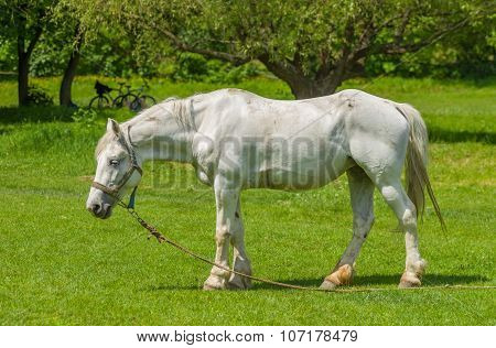 Old white horse on a spring pasture