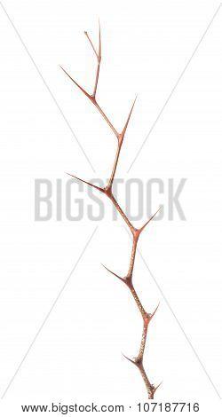 Zigzag Of Jujube Thorns