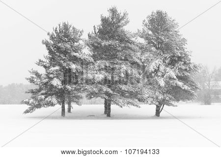 Pine Trees Covered in Snow during Winter Storm