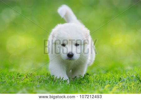 White puppy of mix breed in one and a half months old. This white mixed breed's parents have been a Labrador Retriever and a Samoyed Dog