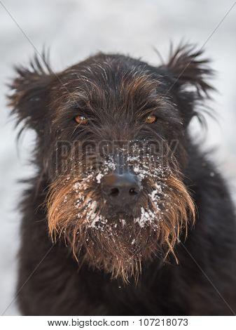 dog schnauzer in the fresh snow