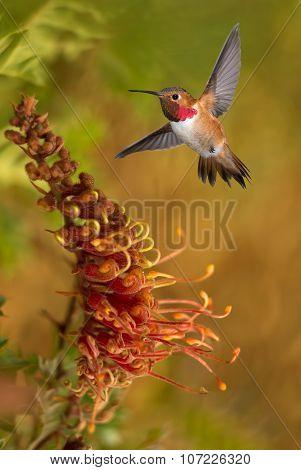 Rufous Hummingbird In the Tropical Garden