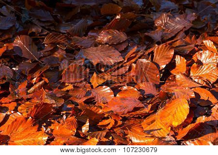 Wet Leaves In Autumn On The Ground