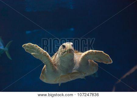 Juvenile loggerhead sea turtle, Caretta caretta