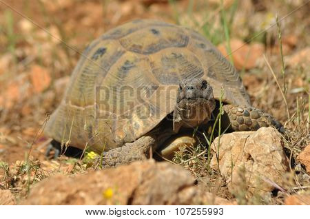 Turtle On The Rocky And Sandy Desert. Gad Soaking Up The Sun.