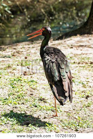 Black Stork (ciconia Nigra), Animal Theme