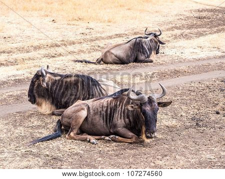 Blue Wildebeas In Ngorongoro