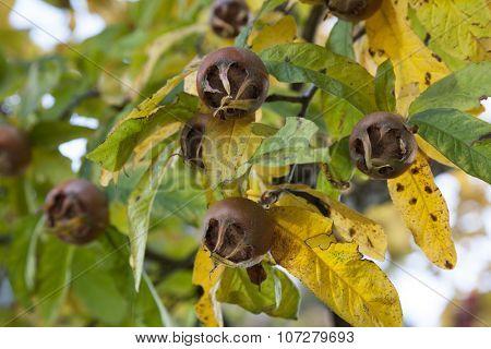 Fresh medlars on a tree in autumn close up
