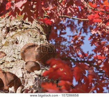 Oak With Burls