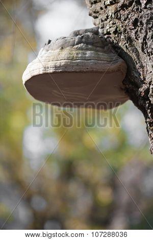 Burl On Tree