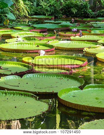 Flower of the Victoria Amazonica, or Victoria Regia, in Belem do Para, Brazil