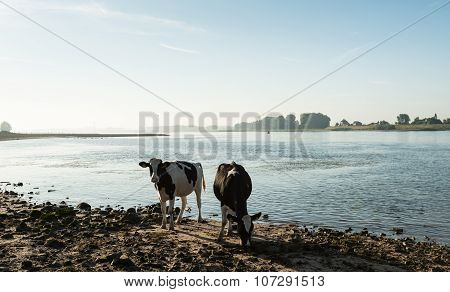 Cows On The River Bank In Backlit