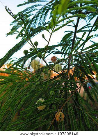 Pom Pom Seed Pods