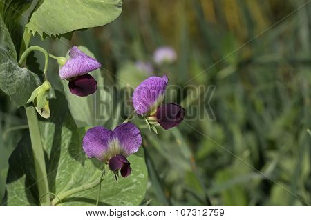 Flower of Field Pea