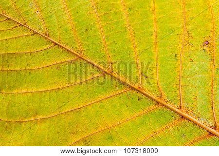 Autumn Walnut Tree Leaf Isolated On White Background