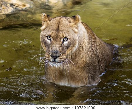 African lion sitting in a stream