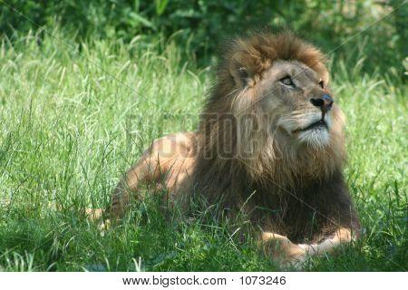 Lions 8