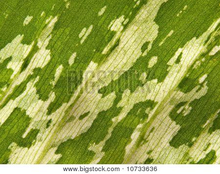 Dumb Cane Leaf