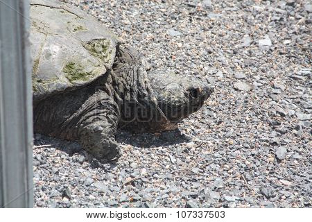 Turtle, Common Snapping -Chelydra serpentina