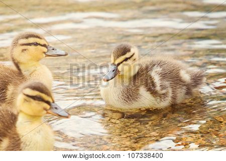 Close Up Of Three Young Ducklings Swimming