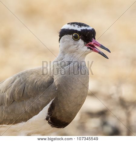 Crowned Lapwing In Kruger National Park