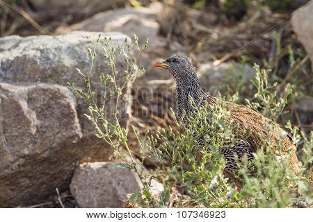 Natal Francolin In Kruger National Park