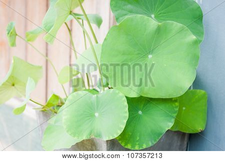 Lotus Leaves In Home Garden