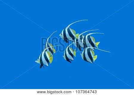 Shoal Of Bannerfishes In Tropical Sea, Underwater
