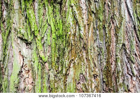 Close Up Of The Tree Bark With Green Moss