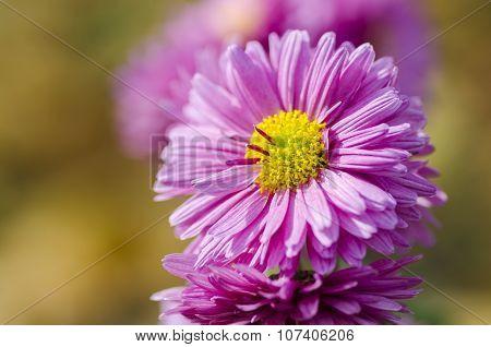 Beautiful Autumn Flower On Blurred Background