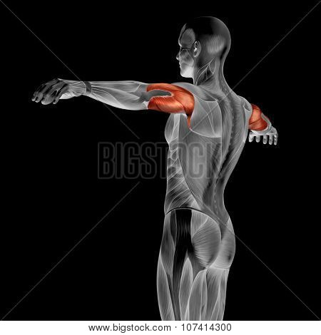 Concept or conceptual 3D triceps human anatomy or anatomical and muscle isolated on black background poster