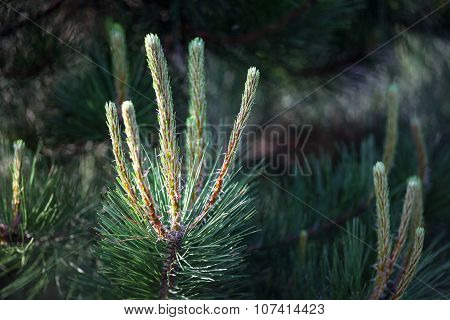 Scots Pine Branches With Young Shoots