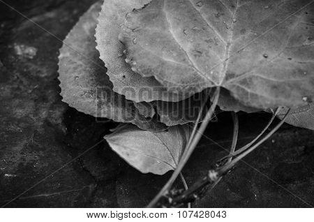 Quaking Aspen Leaves