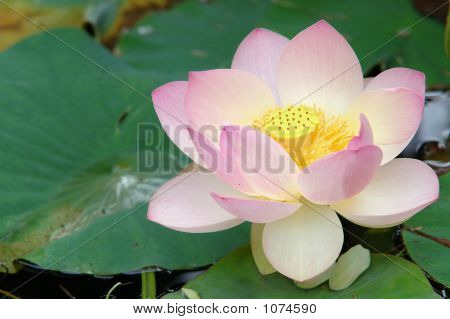 Sacred Lotus Flower (Close Up)