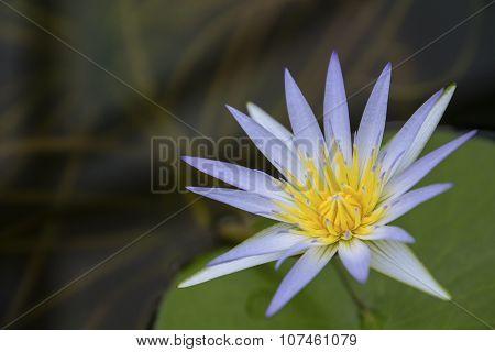 Blue Lotus of Egypt (Nymphaea Caerulea)
