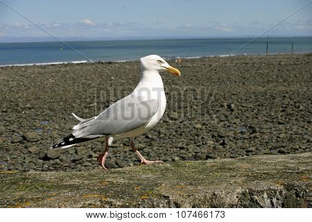 Seagull on harbour wall