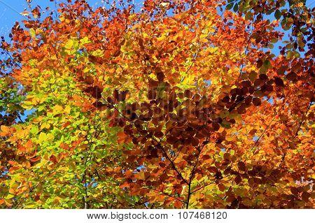Foliage Of A Beech