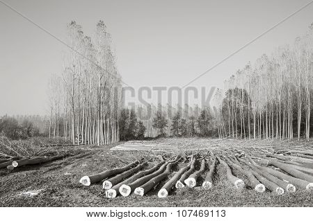 Cutting A Forest Of Poplars.   In Black And White