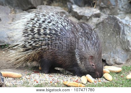 porcupine is eating old rolls and vegetable poster
