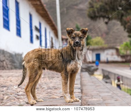 Cocky looking dog standing in the street of a small village in Peru