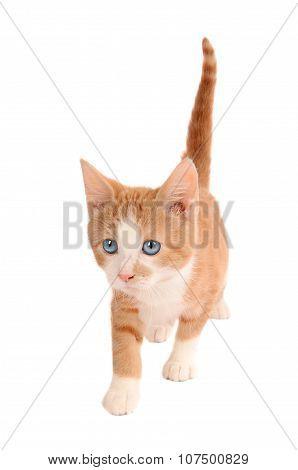 White And Orange Kitten